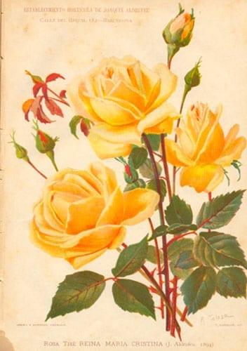 Rosa Reina Maria Cristina, J. Aldrofeu
