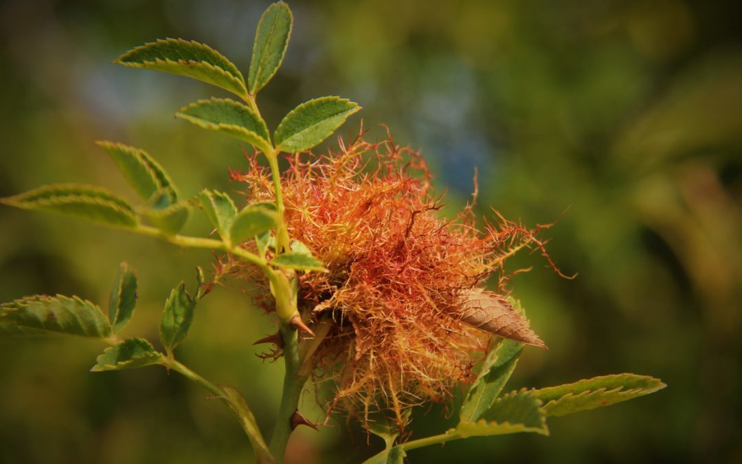Éssers vius que s'alimenten dels rosers: els insectes (III)