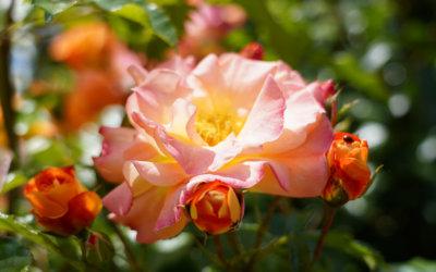 El Concurs Internacional Rosa Villa de Madrid atorga la medalla d'or a una rosa trepadora francesa